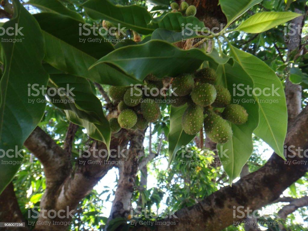 Fruits of champak tree stock photo