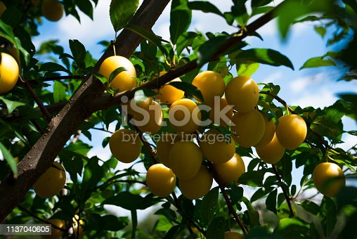 istock Fruits of cherry-plum on tree. 1137040605