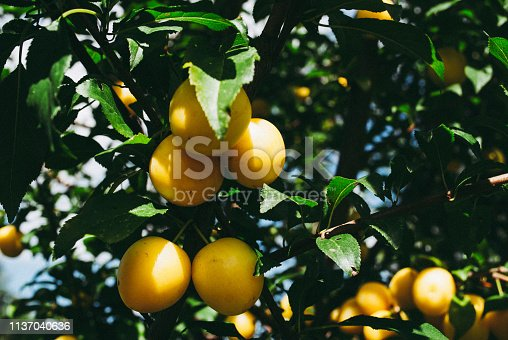 istock Fruits of cherry-plum on tree. 1137040636