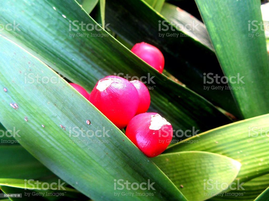 fruits of Clivia stock photo