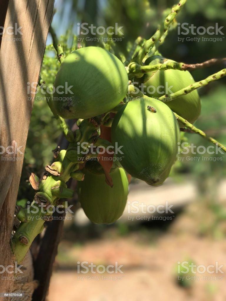 Fruits of Coconut tree or Cocos nucifera. royalty-free stock photo