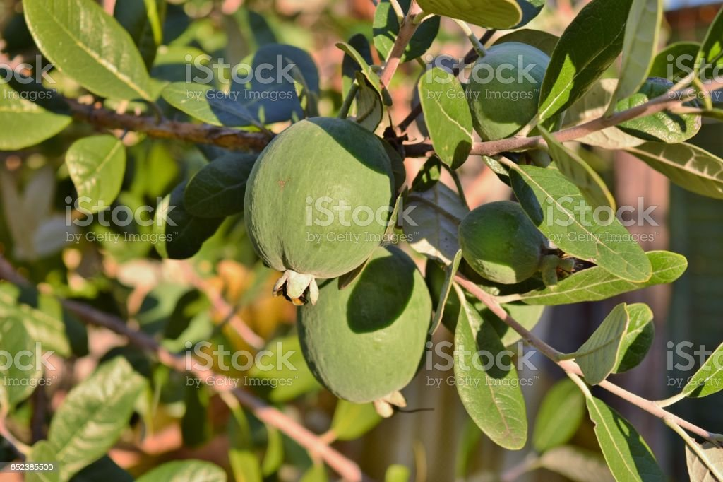 Fruits Of Feijoa Acca Sellowiana Stock Photo More Pictures Of Acca