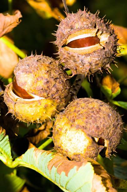 Früchte der Rosskastanie – Foto