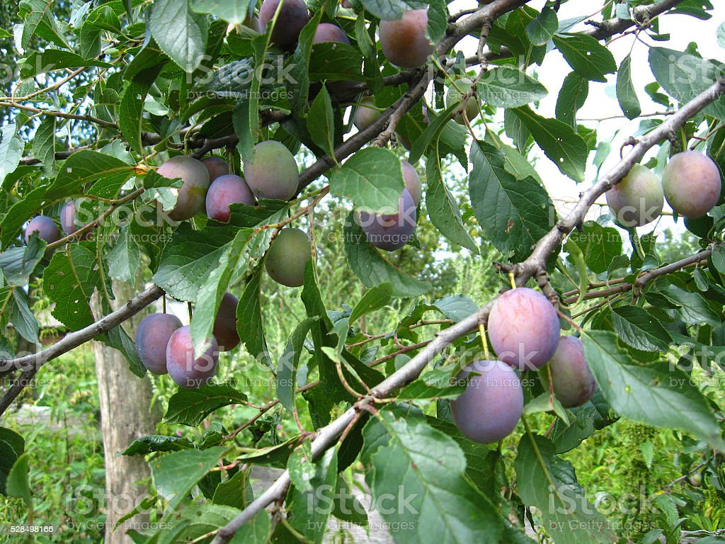 Fruits of plum on the tree stock photo