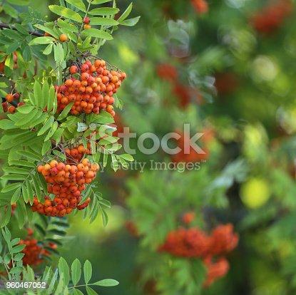 istock Fruits of rowan 960467052