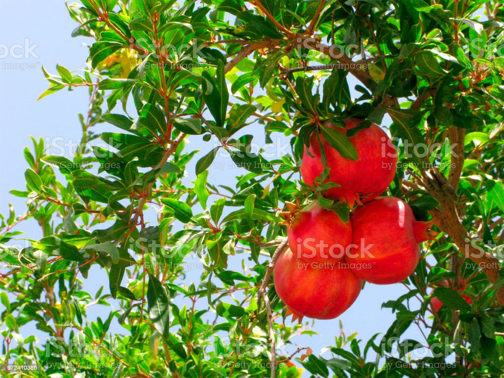 Fruits, ripe pomegranates on branch stock photo
