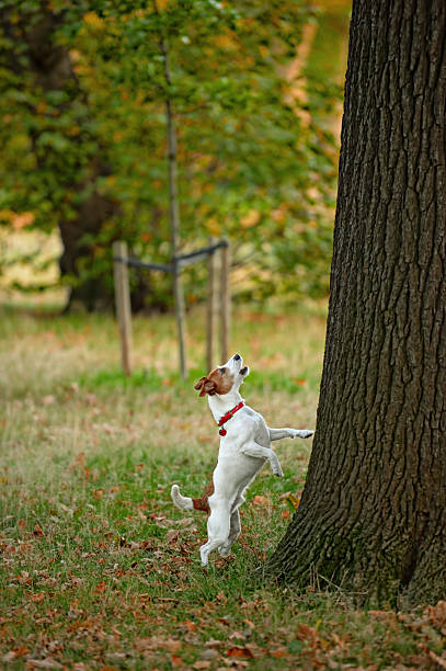 Frustré Parson terrier Jack Russell barking la mauvaise tree ? - Photo
