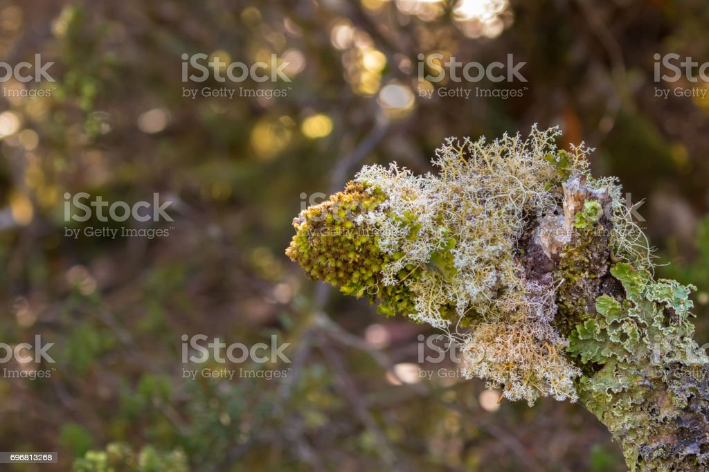 Fruticose and Foliose lichen growing on tree branch in forest in Tasmania, Australia stock photo