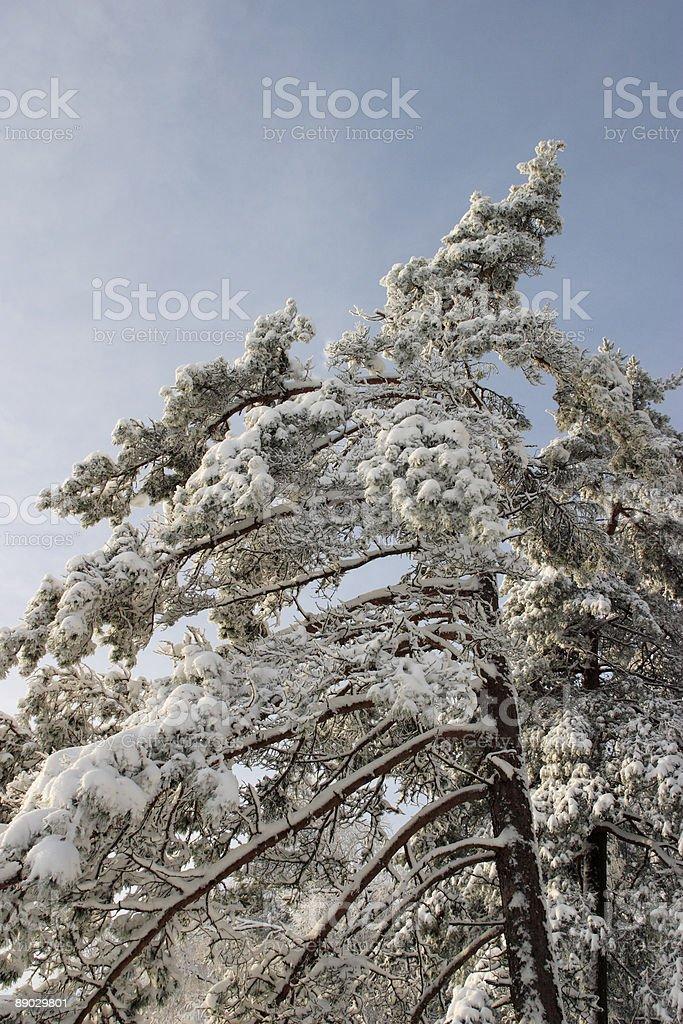 Fruzen pine tree royalty-free stock photo
