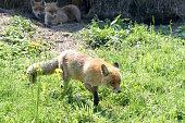 Fuchsmutter auf der Lauer mit Welpen im Hintergrund