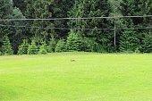 Ein Fuchs läuft über eine Wiese vor dem Wald