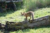 Fuchs auf dem Baumstamm hinter Traktor