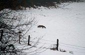 einzelener Fuchs schreitet über die schneebedeckte Wiese