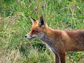 Beobachtender Fuchs