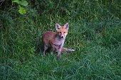 Fuchs auf Waldlichtung