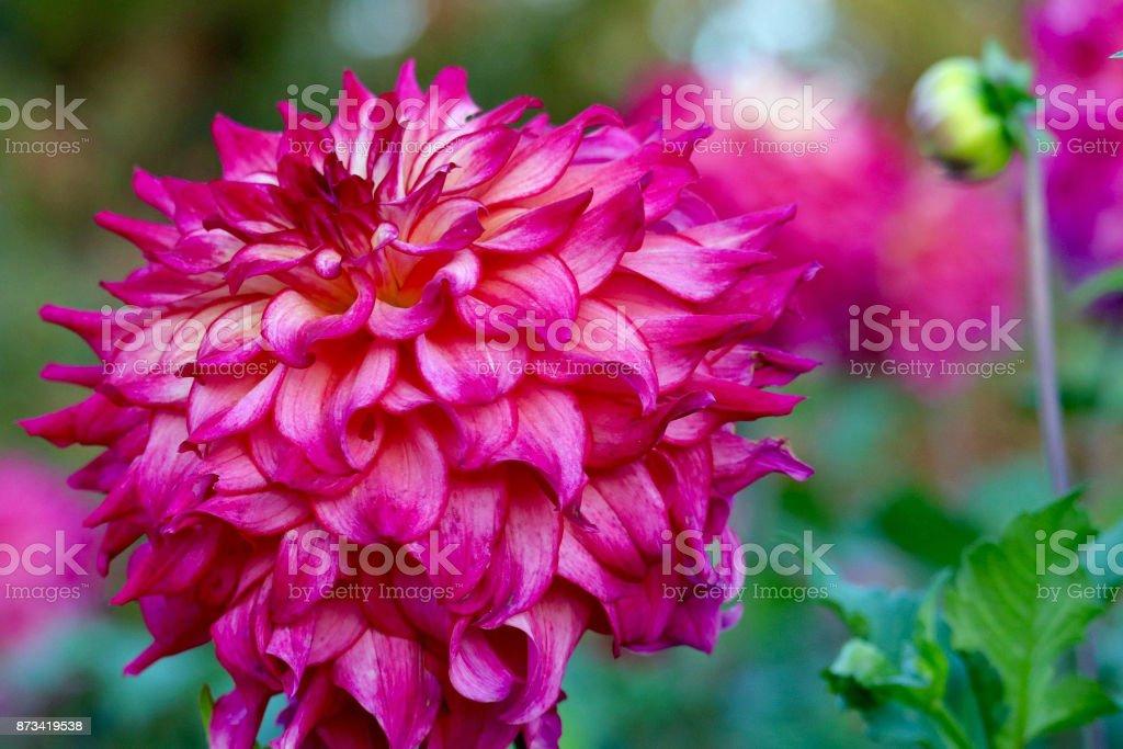 Fuchsia Dahlia stock photo