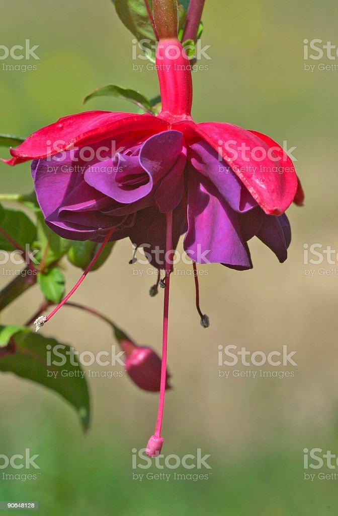 Fuchsia 'Double Otto' royalty-free stock photo