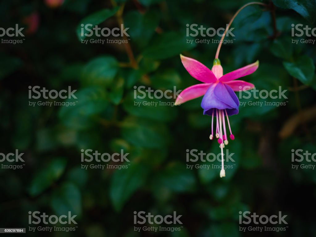 Fuchsia flower in dark leafs background stock photo