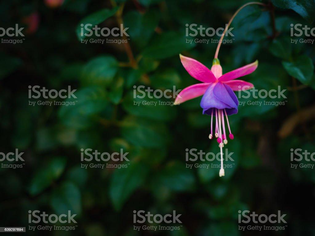 Fuchsia flower in dark leafs background stock photo