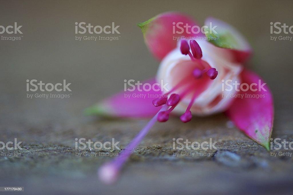 Fuchsia Flower royalty-free stock photo