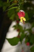 The flower Fuchsia magellanica in a park