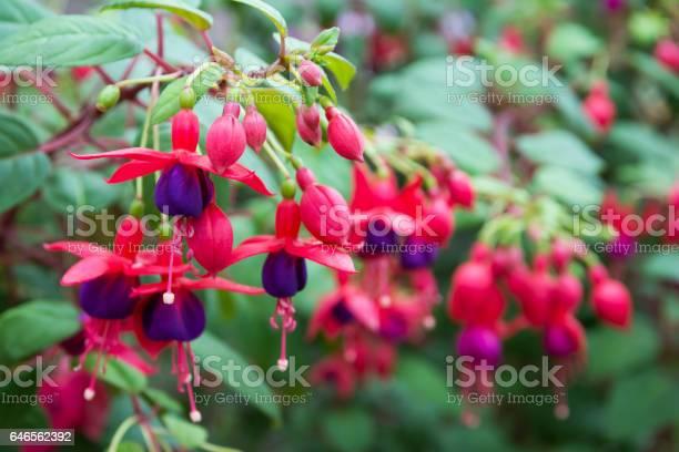 Photo of Fuchsia flowers.Beautiful fuchsia flowers in the garden