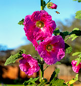 A bee buzzes around a hot pink hollyhock flower.