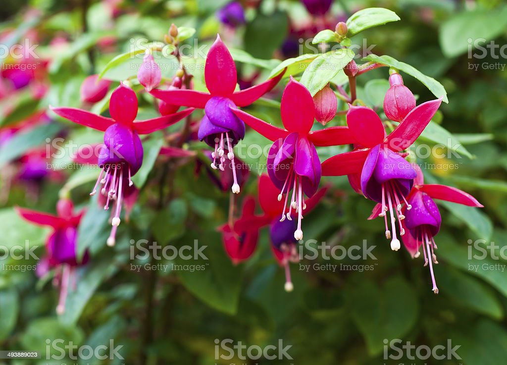 Fuchsia. Onagraceae Salvia splendens Scarlet sage. stock photo