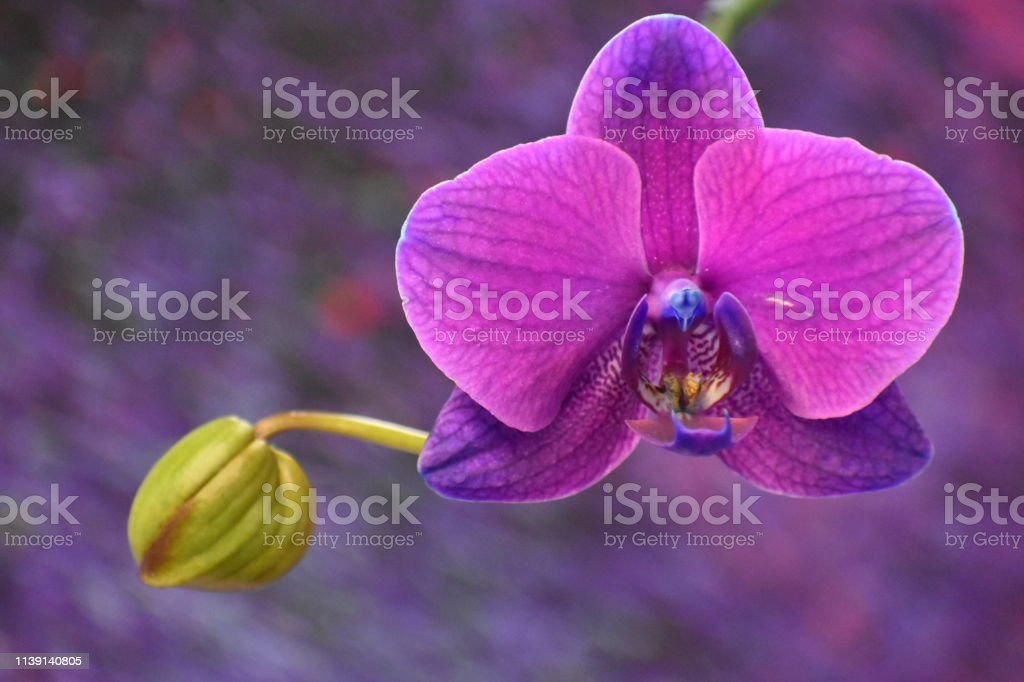 Fuchsia Orchid with Bulb and Colorful Background stock photo