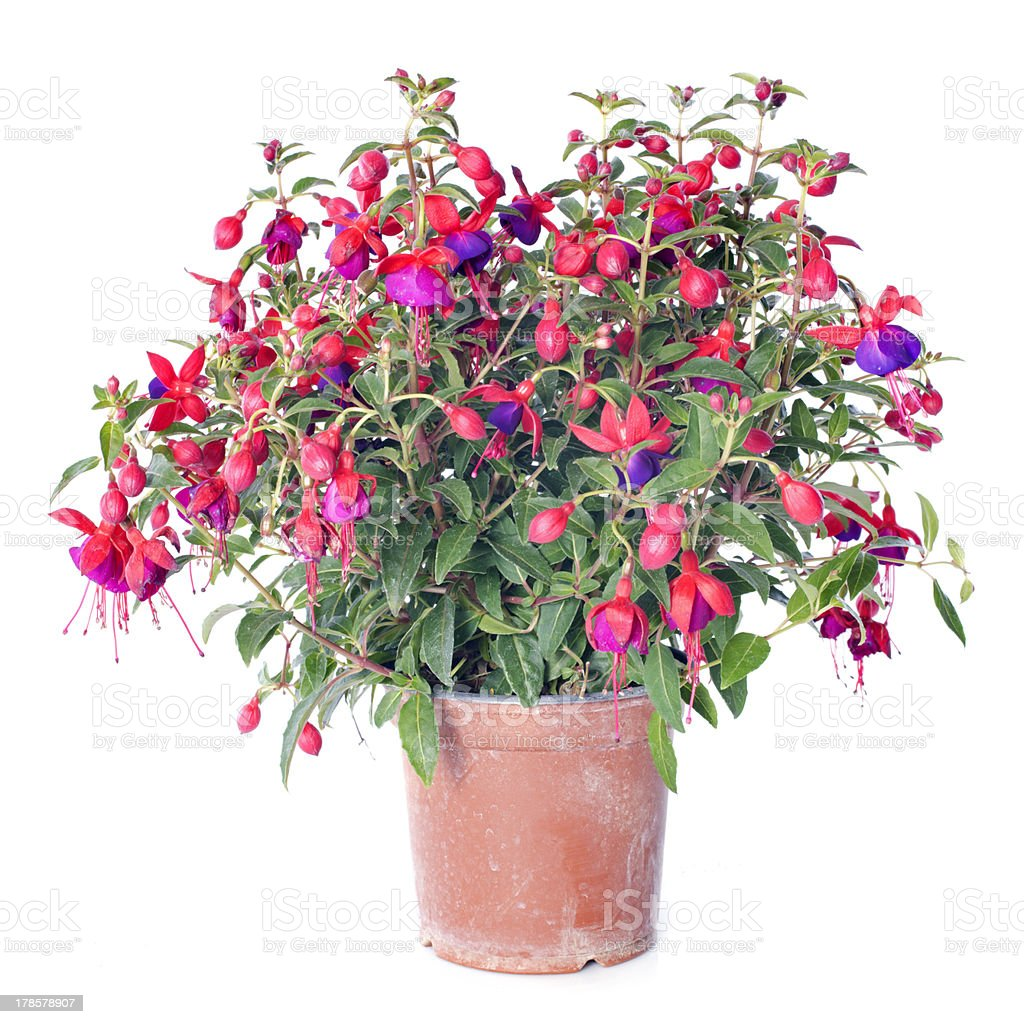 Fuchsia stock photo