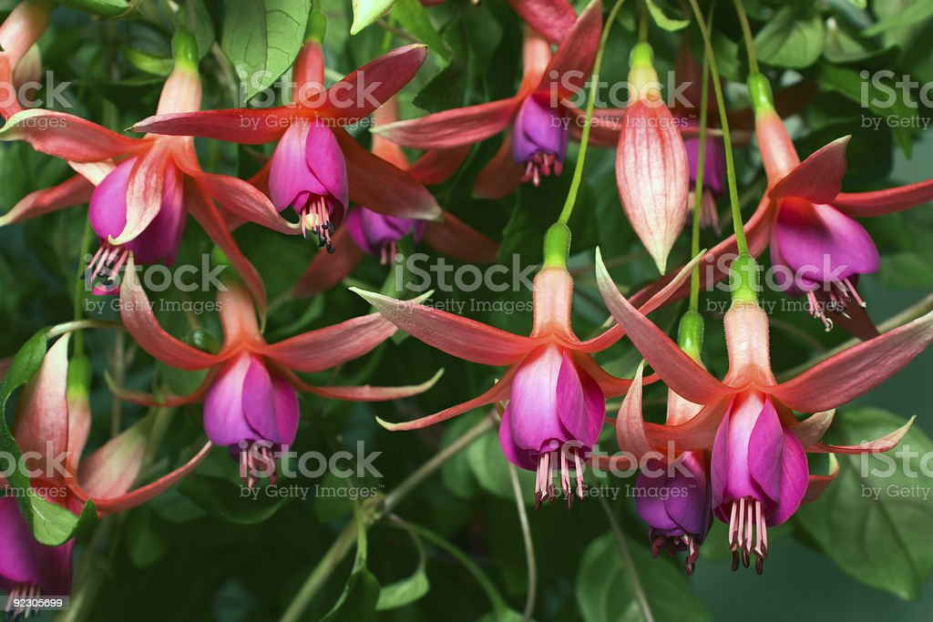 Fuchsia royalty-free stock photo