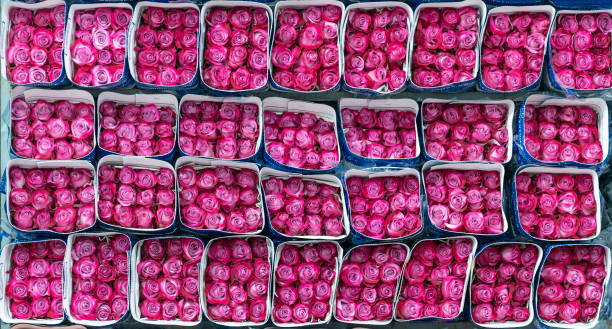 Fuchsia roses export ecuador picture id1130542306?b=1&k=6&m=1130542306&s=612x612&w=0&h=n ttv59nzq g9pboxqro2vt1f6vgayfdyutu0wsjek8=