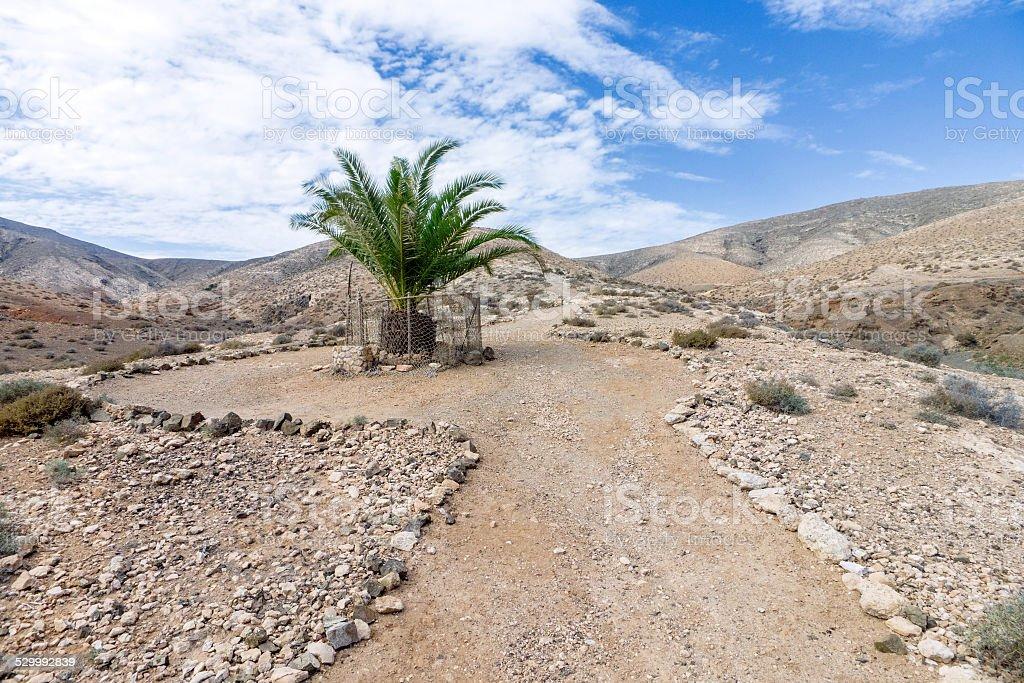 Fuerteventura - Single palm tree in the Cardon massif royalty-free stock photo