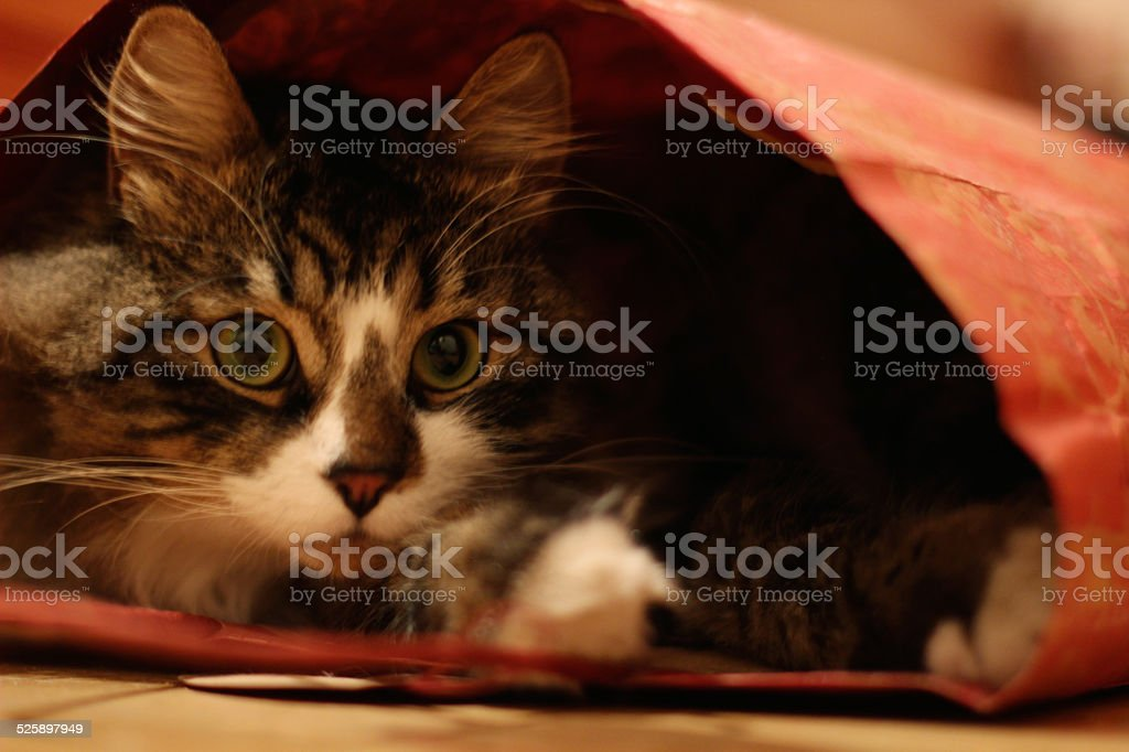Fuffy big-eyed cat looked up from gift-wrapping red bag stock photo