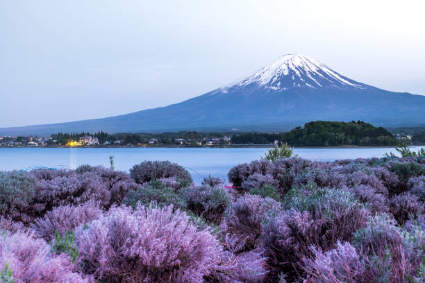 Fuji Mountain and flower flieds view , mt.fuji background lake Kawaguchi one of the fuji five lakes in Japan Fuji Mountain and flower flieds view , mt.fuji background lake Kawaguchi one of the fuji five lakes in Japan lake kawaguchi stock pictures, royalty-free photos & images