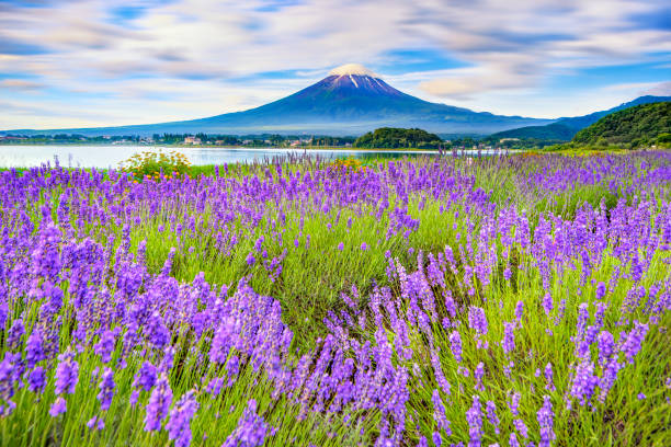 Fuji mountain and Lavender Field at kawaguchiko lake Lavender festival at Kawagcuchiko lake with Fuji mountain background lake kawaguchi stock pictures, royalty-free photos & images