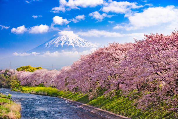 fuji mountain in spring - blossom stock pictures, royalty-free photos & images
