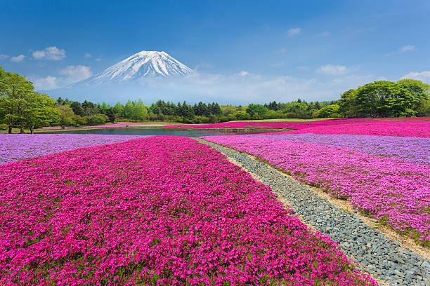 Fuji with Pink Moss or Shibazakura Fuji with the field of pink moss at Shibazakura festival, Yamanashi, Japan lake kawaguchi stock pictures, royalty-free photos & images