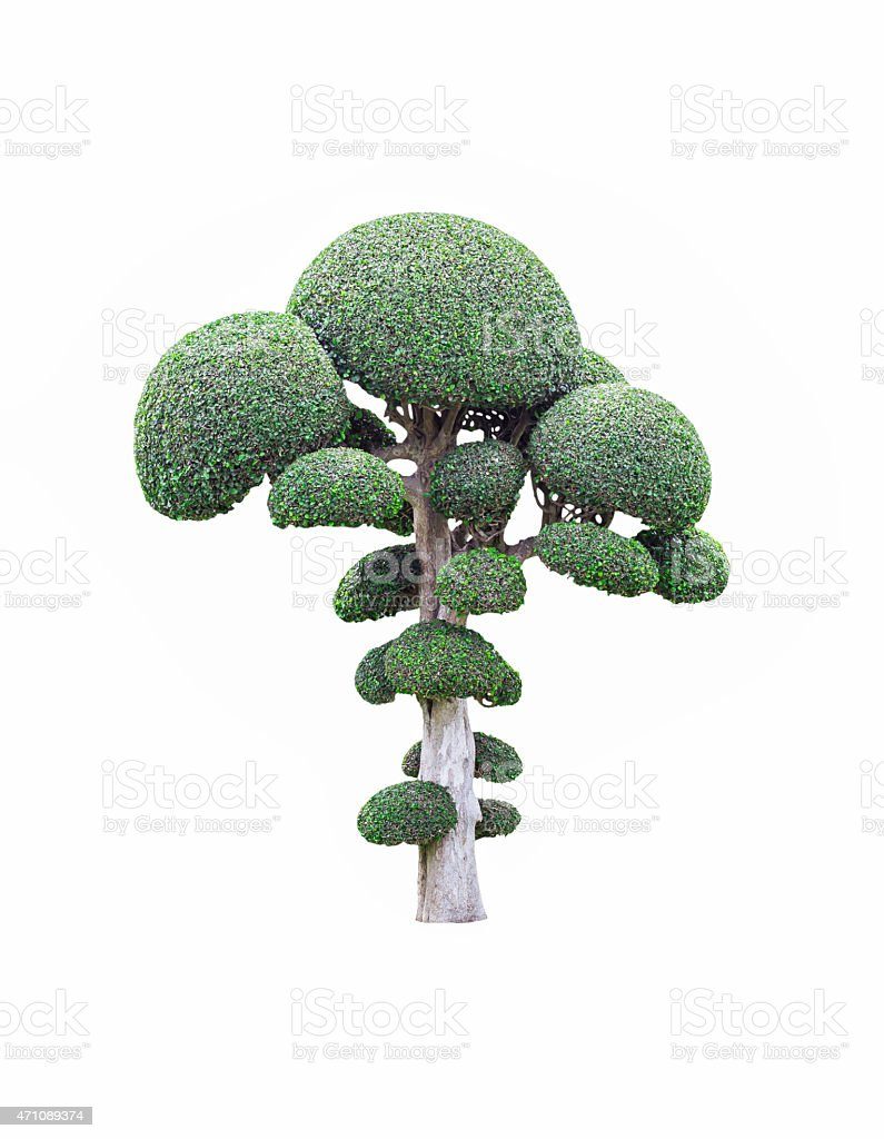 Fukien tea tree on white stock photo