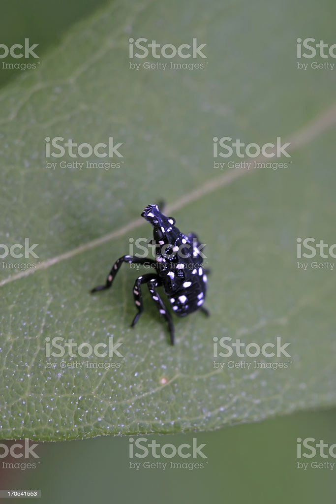 fulgoroidea insects on the green leaf royalty-free stock photo