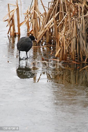 Winter: lonely eurasian coot ( Fulica atra) walking on thin Ice.