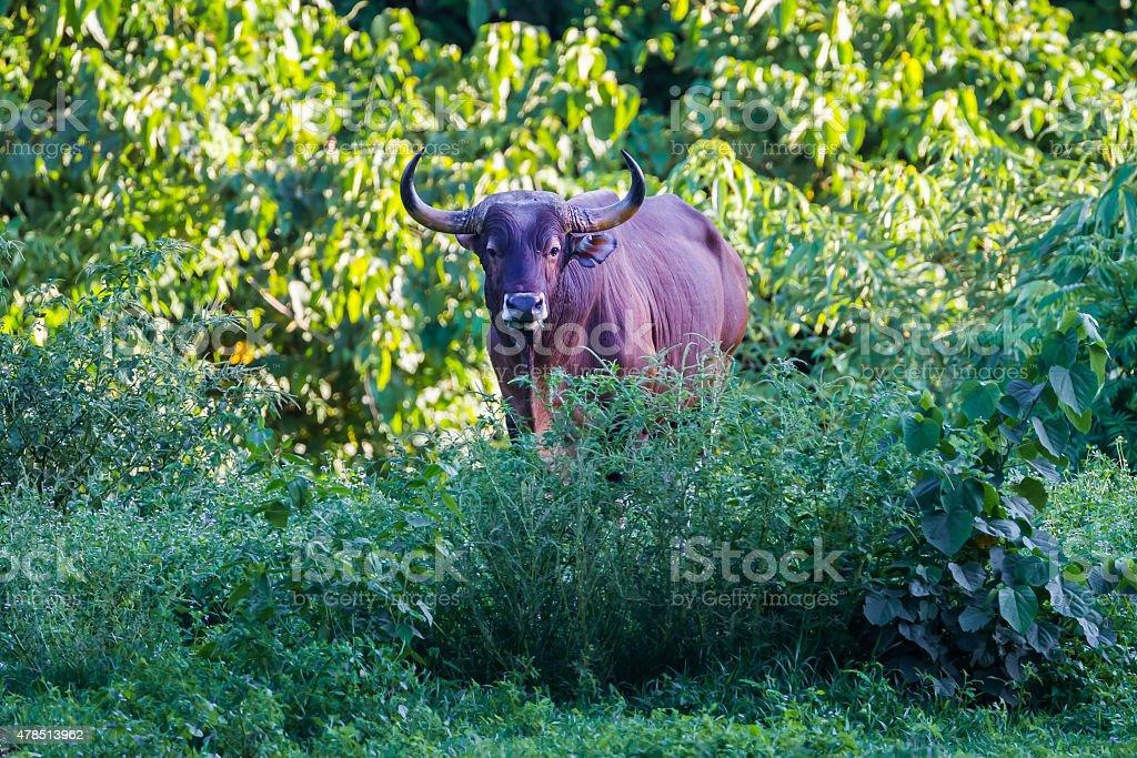 full adult Male Banteng (Bos javanicus) stock photo