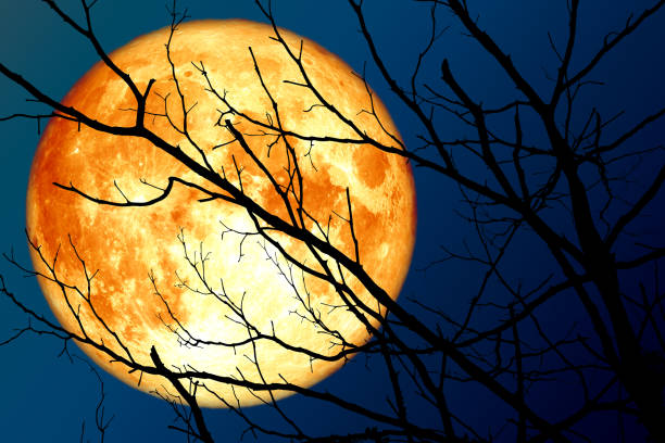 full blood moon floats on the sky in the shadow of the hands of dried branches and leaves in the forest stock photo