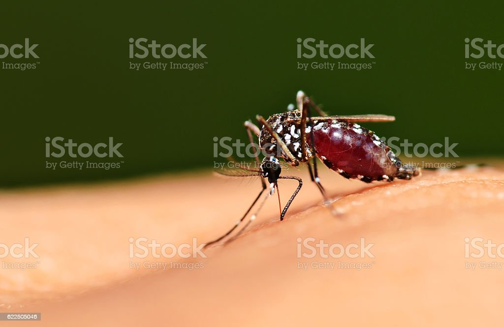 Full blood on mosquito body stock photo