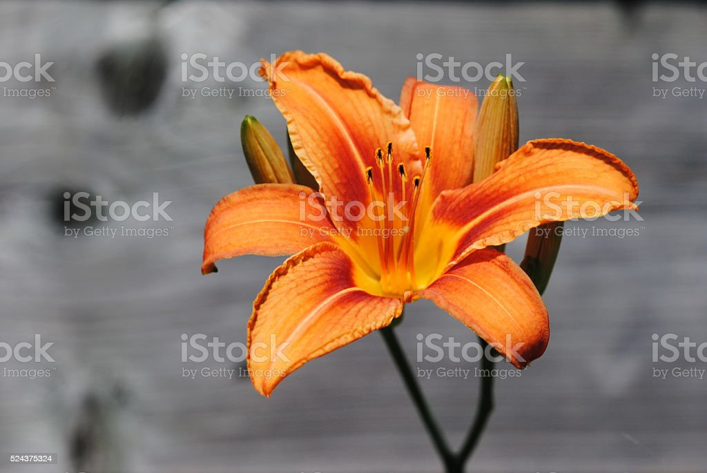 Full Bloom Orange Day Lily stock photo
