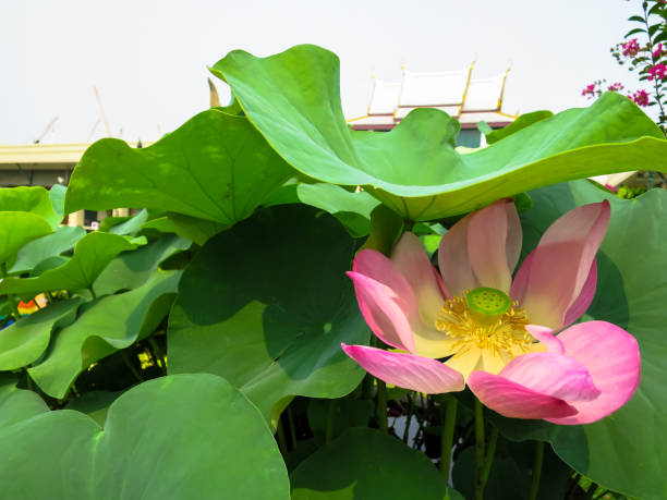 Top 60 Where To Buy Lotus Flowers Pictures Stock Photos Pictures