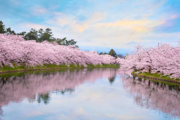 満開桜の弘前公園の桜 - 桜 ストックフォトと画像