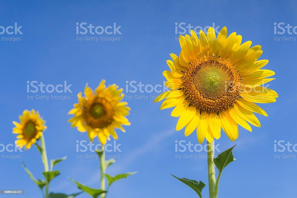 Full bloom sunflowers with clear blue sky Lizenzfreies stock-foto