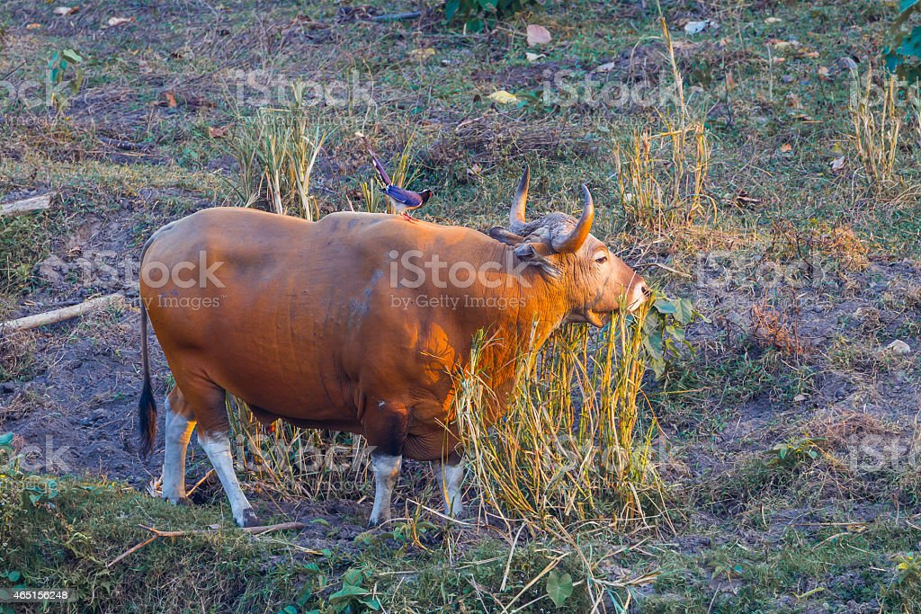 Full body and full age of Banteng(Bos javanicus ) stock photo
