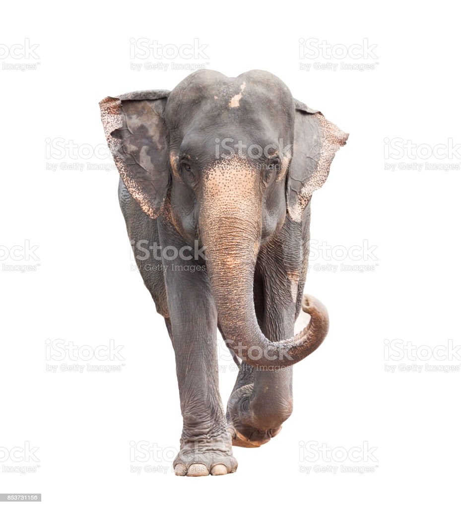 full body face of asian elephant isolated white background stock photo